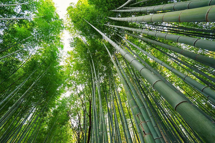 嵐山からトロッコて行った所にある美しい竹林