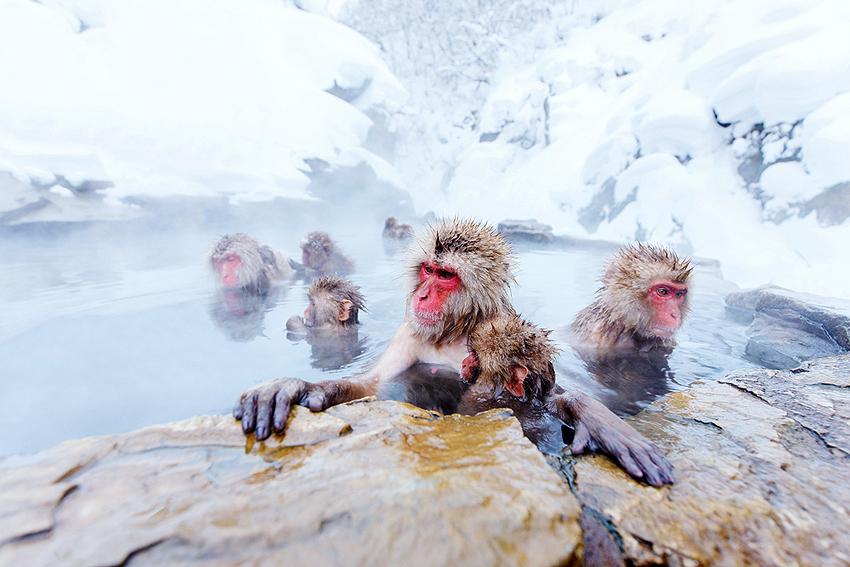 地獄谷温泉でのんびりするニホンザル