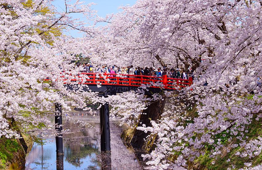 桜でにぎわう弘前城。