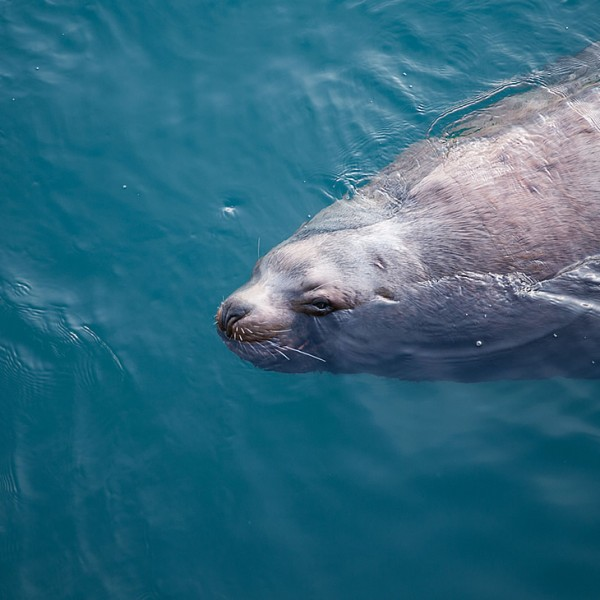 A Harbor Seal